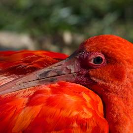 Scarlet Ibis by Wade Tregaskis - Animals Birds ( red, ibis, watching, scarlet, wary, snoozing, sleeping )