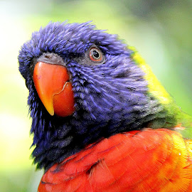 Lorikeet by Ralph Harvey - Animals Birds ( wildlife, ralph harvey, bristol zoo )