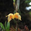 Semitransparent Bulbophyllum