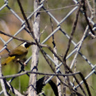 (Male) Common Yellowthroat