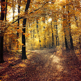 untitled by Zsolt Zsigmond - Landscapes Forests ( autumn, fall, path, trees, forest, morning, light, woods )