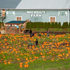 Pumpkin Farm by Keith Sutherland - Landscapes Prairies, Meadows & Fields ( farm, field, barn, pumpkin )