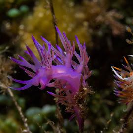 underwater macro - nudibranch by Claudia Weber-Gebert - Animals Sea Creatures ( macro, reef, underwater, sea, flabellina, ocean, slug, nudibranch, sea slug, diving, close up )