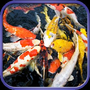 koi fish live wallpaper free download for windows 8