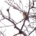 American Robin- female