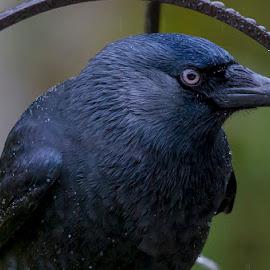 Jackdaw by Andrew Lee - Animals Birds ( bird, jackdaw, close up, large, black )