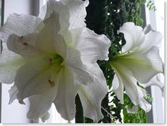Tidigare i somras tyckte vår amaryllis att det var dags att blomma, se den som veckans pausfågel så länge...