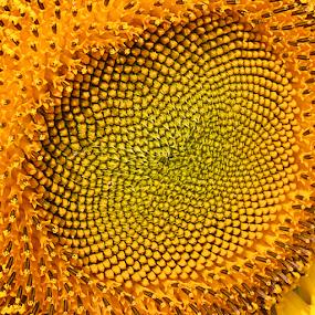 Sunflower by Fawad Hashmi - Flowers Single Flower (  )