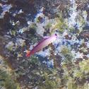 Purple Firefish Goby