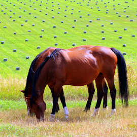 by Kerri Back - Animals Horses ( bay, horse, hay, meadow )