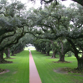 Oak Alley Trees by Sue Huhn - Landscapes Travel ( new orleans, wood, plantation, oak alley, oak tree,  )