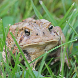 American toad by Christina Harper - Animals Amphibians ( frog, amphibian, toad )