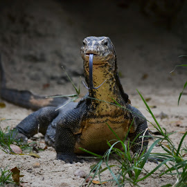 Komodo Dragon by Deven Dadbhawala - Animals Reptiles