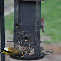 Pine siskin, House Finch and evening Grosbeak