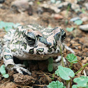 European Green Toad - poss. Variable toad