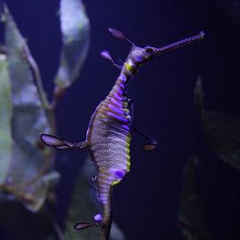 Sea Horse by Alicia Zimmerman-Geist - Animals Sea Creatures ( life, sealife, purple, color, creature, sea horse, sea, ocean, yellow, seahorse )
