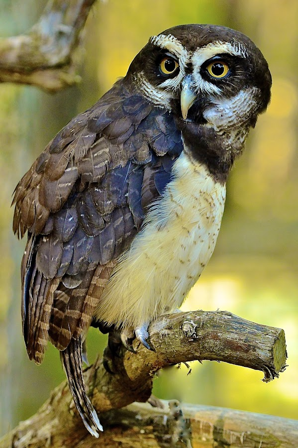 Spectacled Owl by Roy Walter - Animals Birds (  )