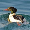 Goosander or Common Merganser (male)