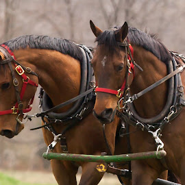 Learning to work together by Patricia Rustin - Animals Horses ( training, harness pulling, horse, harness, bay team, pulling, equestrian )