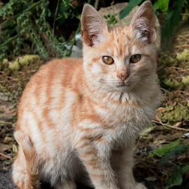 kitten by Mihai Alexandru Pascu - Animals - Cats Kittens ( cats, kitten, adorable, brown, kittens, cute )