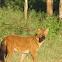 Dhole (Asiatic Wild dog)