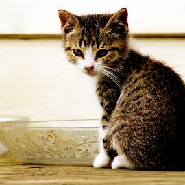 Little Kitty by Kelly Elle - Animals - Cats Kittens ( kitten, cat, cute, domestic, kitty, animal )