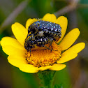 White-spotted Rose Beetle