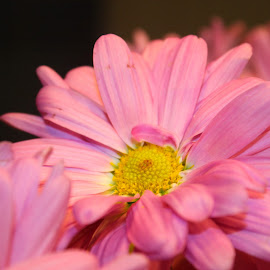 Pink Daisy by Christie Henderson - Novices Only Flowers & Plants