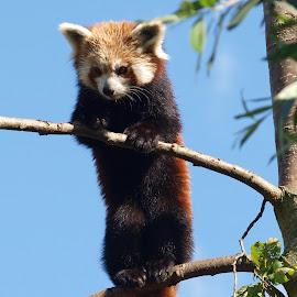 Shepreth Panda 2 by Garry Chisholm - Animals Other Mammals ( bear, garry chisholm, red, nature, panda, wildlife, mammal )