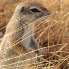 South African Ground Squirrel