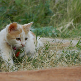Eyes on a hunt by Manoj Kumar B B - Animals - Cats Kittens ( kitten, cat on a hunt, kitten plaaying in garden, kitten hunting, cat playing )