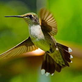 Waiting Again by Roy Walter - Animals Birds ( hummingbird )