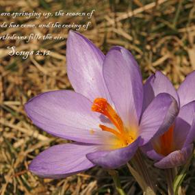 Spring is Here by Melanie Melograne - Typography Quotes & Sentences ( spring flowers, purple floweres, crocuses, spring colorful flowers, full bloom crocuses, crocus, wild crocuses, springtime, spring, purple crocuses )