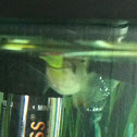 Killi fish eating a yellow glofish.