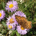 Crown Fritillary