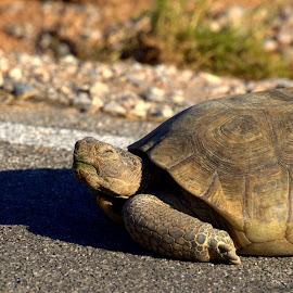 Happy Tortoise  by Daniel Hackett - Animals Reptiles ( las vegas, red rock canyon, rare, desert tortoise, happy, wildlife, reptile, animal )