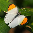 Plain Orange Tip (male)