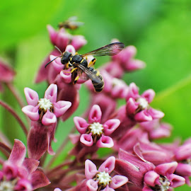 Snack Time by Brian Ham - Novices Only Flowers & Plants ( wasp, blooming, milkweed, insect, flower )