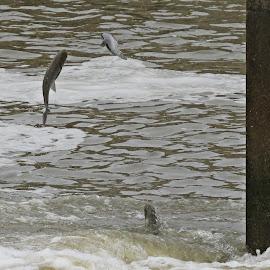 Fish Jumping At A Dam by Cindy Cooper Houser - Animals Amphibians ( water, animals, fish, lake, amphibians, animal )