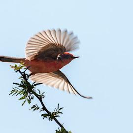 MOMENTO by Alfonso Emmanuel Galina - Animals Birds ( mosquero cardenalitopuebla, pue )