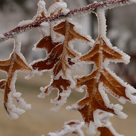 Hoar frost. by Denton Thaves - Nature Up Close Leaves & Grasses ( frost )