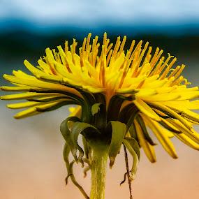 dandelion (maslačak) by Zeljko Jelavic - Novices Only Flowers & Plants (  )