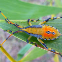 Eucalyptus Tip Bug
