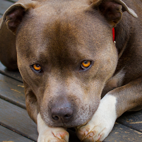 Duncan by Gary Beresford - Animals - Dogs Portraits ( boof, sad, staffordshire bull terrier, sook, eyes )