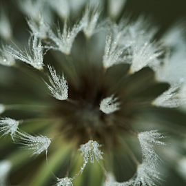 Warp Speed by Melanie Melograne - Abstract Macro ( warp speed, macro photography, abstract photography, dandilion )