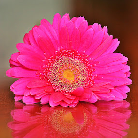 Flower Reflection by Diadjeng Laraswati H - Flowers Single Flower (  )