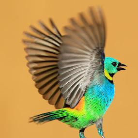 Dancing! by Itamar Campos - Animals Birds ( morretes, saíra sete cores, male, sáira, green headed tanager,  )