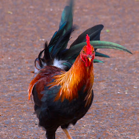 Kauai Rooster, on the move... by D. Bruce Gammie - Animals Birds ( bird, chicken, kauai, rooster, flightless bird )
