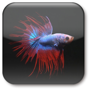Download betta fish live wallpaper apk on pc download for Fish live game