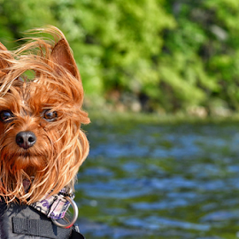 Kayaking Yorkie by Tracey Doak - Novices Only Pets ( yorkie, pet, summer, dog, kayak,  )